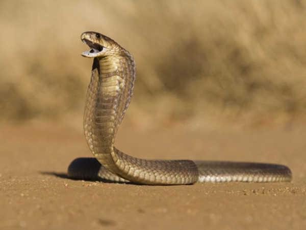 Mơ thấy rắn hổ mang hé lộ điều gì - Đánh con đề nào?